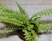 LIVE miniature fern for terrarium or vivarium LEMON BUTTON