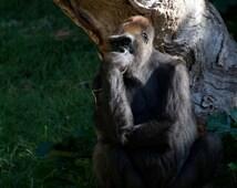 Gorilla - The Thinker