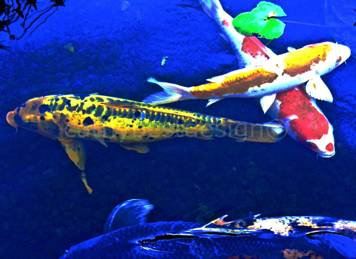 Colorful koi fish fine art photograph for Colourful koi fish