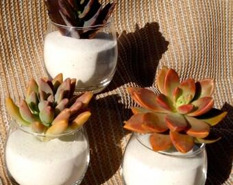 Succulent  Wedding Favors, Succulent Bridal Shower Favor, Spring or Summer Wedding Favor, special Event Favor