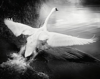 Swan in Flight. Wildlife Black and White Photography. Nature Fine Art Print