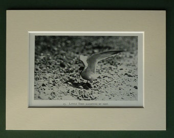 Original 1934 Little Terns Matted Print - Sea - Seabird - Seagull - Gull - Beach Picture - Ornithology - Black & White - Photograph - Bird