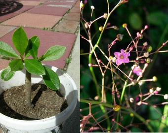 Two years Red Korean Ginseng Plant, P8801