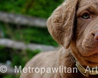 Dog Photograph Chesapeake Bay Retriever Puppy Close Up  8x10 (IMG3854)
