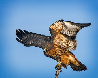 Red tailed Hawk, Fine Art Image, Bird Photo, Hawk Image, 8x10, Nature Photo