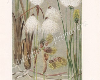 1919 Commont Cottongrass and Tussock Cottongrass, also Blue Rush and Soft Rush Antique Coloured Plate