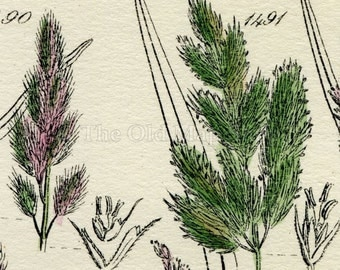 Antique Botanical Print of Wild Flowers, 1914 John Sowerby Feather Grass, Fiorin Grass, Hand-Coloured Flower Plate (1481 to 1500)