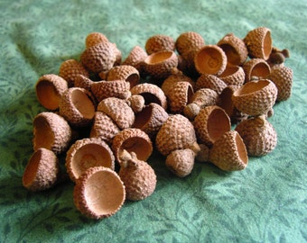 100 Assorted Post Oak Acorn Caps Diameter 1/2:9/16""