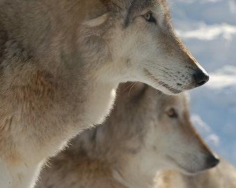 Wolf Photo, Fine Art Photo