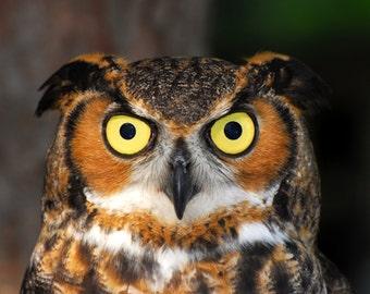 Great Horned Owl, Fine Art Photo