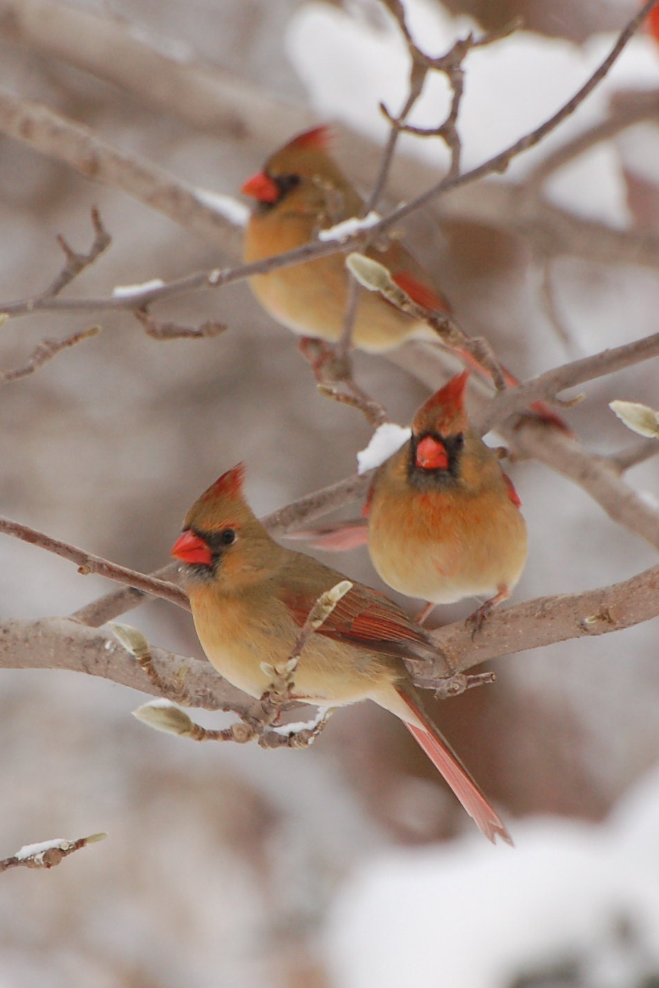 Northern Cardinals In Snowstorm In Winter Marion Co ...  Female Cardinal In Winter