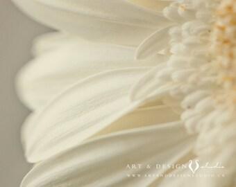 Still Life Photography, Macro Flower Photograph, Abstract Flower, Abstract Art, Cream Flower, Yellow Flower, Gerbers, Cream Wall Art, Floral