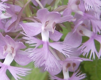 Purple Fringed Orchid .... 200 Seeds