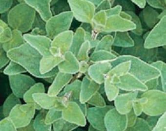 Herb Plant, Greek Oregano Organic
