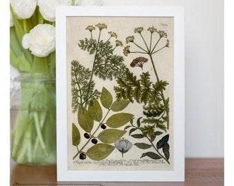"""Vintage illustration of tea - framed fine art print, botanical illustration, botanical art, 8""""x10"""" ; 11""""x14"""", FREE SHIPPING -  037"""