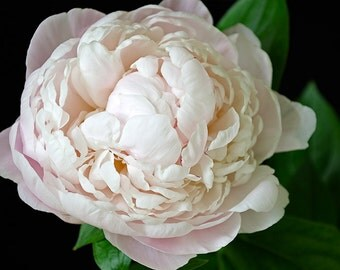 Blush Pink Peony on Black background, fine art photography, nature flower photograph wall art print home decor