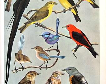 Tanager, Wren, Rock Thrush, Ptarmigan, Gull Bird Print - 1960s Vintage Book Page - 10 x 8