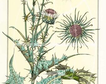 Vintage Botanical Poster Art  Reproduction - THISTLE