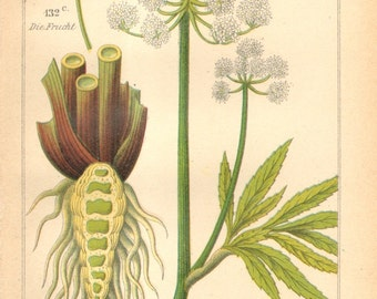 1893 Cowbane or Northern Water Hemlock Original Antique Chromolithograph to Frame