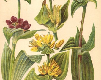 1905 Alpine Flowers, Spotted Gentian, Great Yellow Gentian, Purple Gentian, Hungarian Gentian Original Antique Chromolithograph to Frame