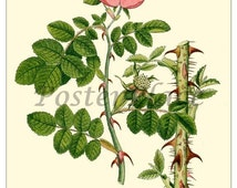 SWEET BRIAR ROSE - Vintage Botanical art card print reproduction -  292