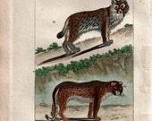 1802 Antique Animal Print Felines Leopard and Lynx, Hand Colored Engraving by Buffon