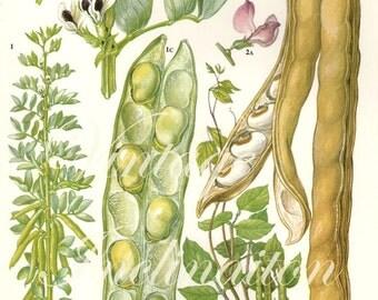 Vintage Botanical Print Antique BEANS 41, plant print botanical print, bookplate art print, vegetables plants plant wall
