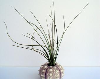Air Plant Sea Urchin Planter Single