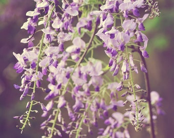 Spring Flower Photography - Fading Romance - 8x10 fine art print - purple wisteria lavender lilac green nature wall art home decor