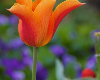 Photo print or gallery wrap canvas: Crazy tulip. This tulip just wants to have fun. Orange, yellow, and green. Limited edition canvas wrap.