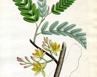 1792 Tamarind Plant Hand Colored Copperplate Engraving Gorgeous In Perfect Condition