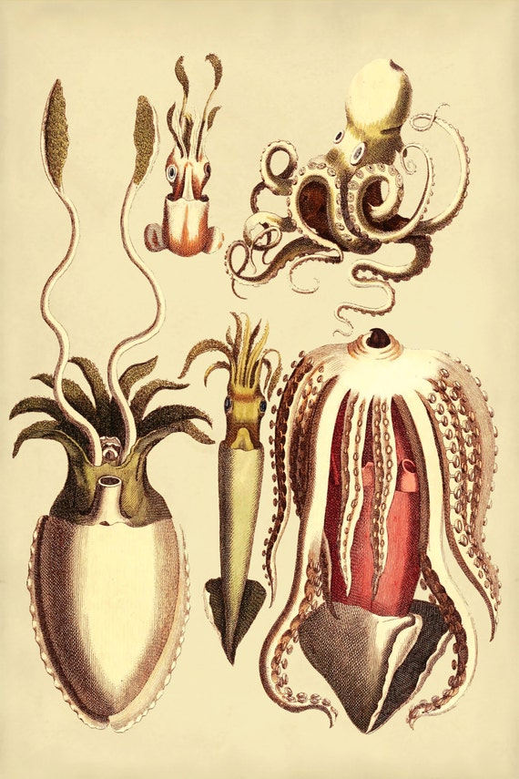 Cuttlefish Print from Vintage Illustration, Octopus Art, Beach Home Decor, Coastal Living, Sea Life Print, Octopus Art, Squid Print