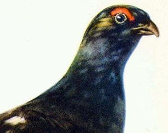Black Grouse Lyrurus Tetrix Bird Ornithology Natural History Lithograph Print 1960s Illustration To Frame 24