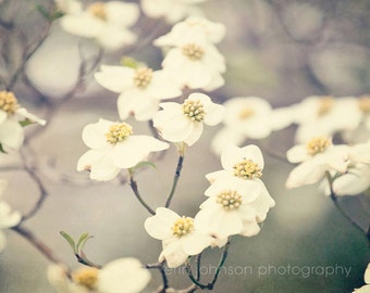 dogwood photography spring flower decor nature photography white decor landscape art wall art no 2