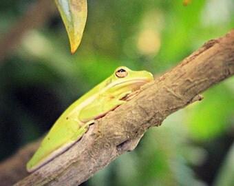 Tree Frog: fine art nature wildlife photograph of green tropical amphibian