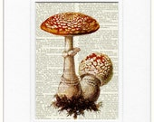 Mushroom Print, 18oo's mushroom artwork - fly Amanita - printed on page from old dictionary