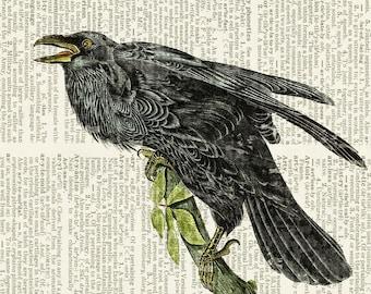 raven, Audubon print