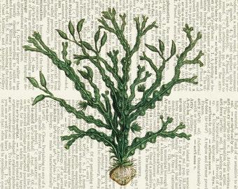 seaweed I dictionary page print