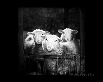 Sheep 8x8 fine art photography print Sheep in black and white Original signed photo print Wall decor Gift for animal lover
