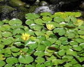 Hardy Yellow Water Lily