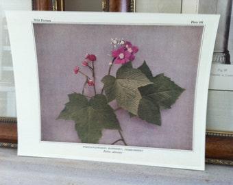 Summer Sale- sale -1935 - vintage antique  Wild Flower print - raspberry - thimbleberry