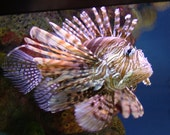 Photograph Fish Lion Fish 8 x 10 Nature Print