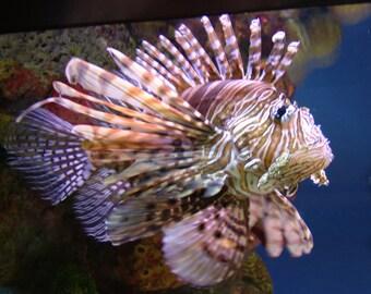 Photograph Fish Lion Fish 8 x 10 Nature Print Marine Photography