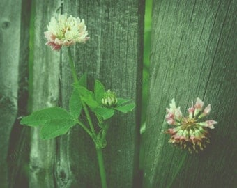 Digital Photo Download Clover Growing Along a Fence Print up to 8x10