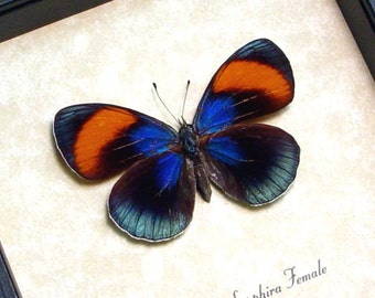 Real Framed Blue Star Sapphire Female Butterfly Shadowbox Display 8138