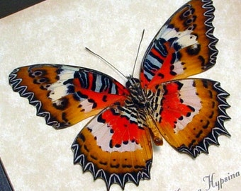 Real Framed Cethosia hypsea hypsina verso Red Malay Lacewing Butterfly 8141v