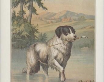 Domestic Farm Animals Antique 1903 of Retrieving Dog Print