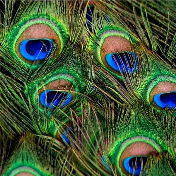 Reserved - Set of 12 peacock feathers
