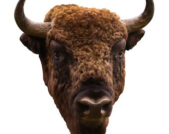 American Bison Head Adhesive Taxidermy