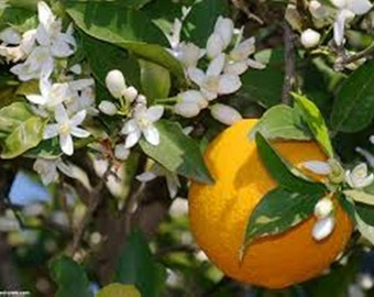 Orange Blossom 2 oz. fragrance oil. Soap and candle supplies. Cosmetic grade, uncut.